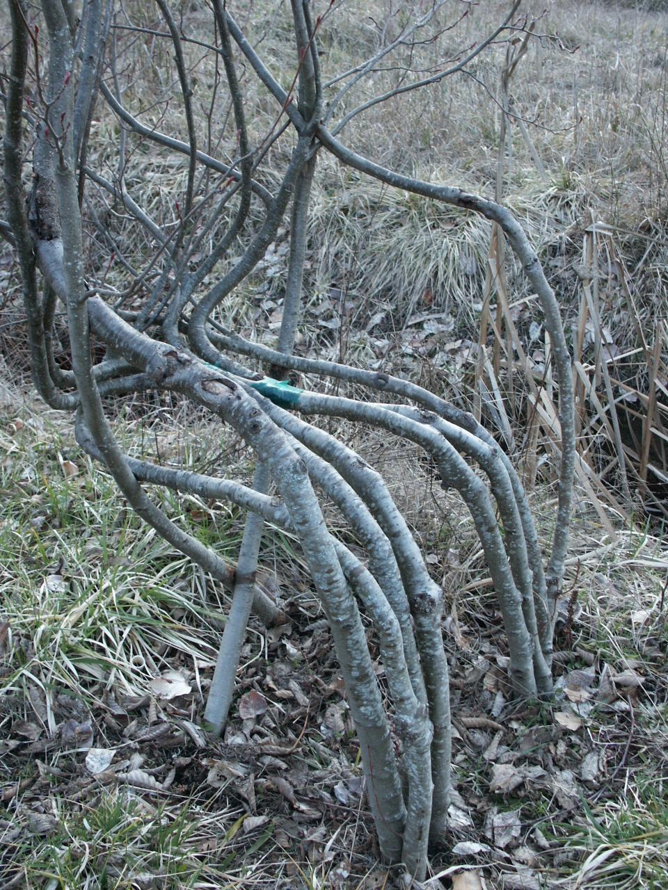 arborsmith trees 2-14-02 013.jpg