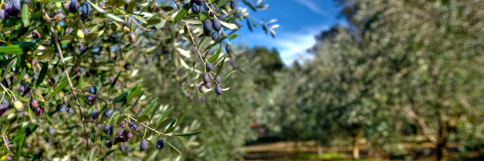 olive-fruit-on-trees.jpg