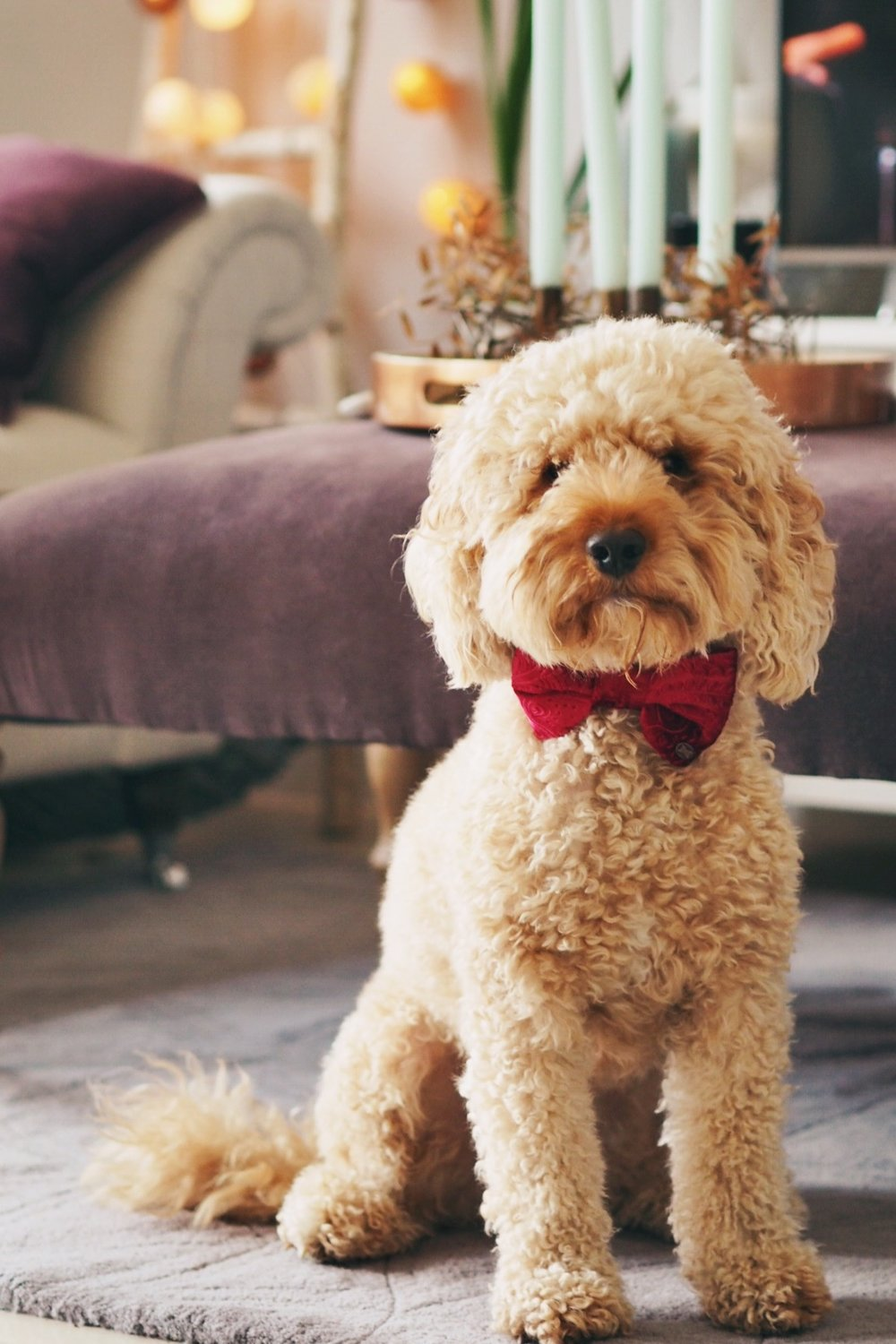 Harry in his  Distinguished Dog Co  Bowtie