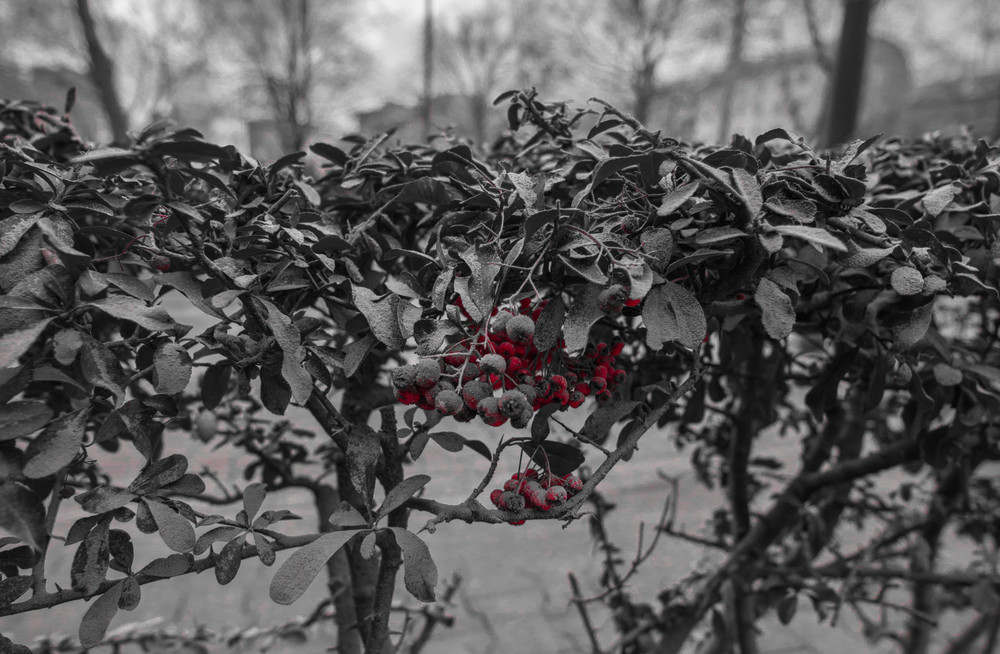 Dusty Berries.jpg
