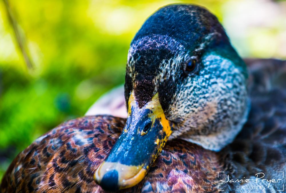 The Duck.jpg