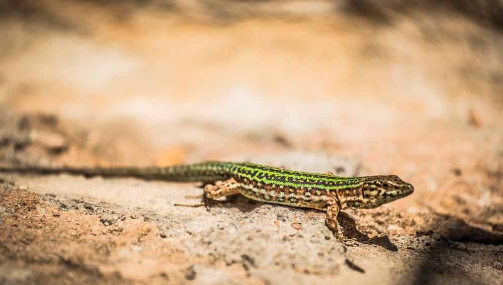 Ibiza Lizard 1.jpg