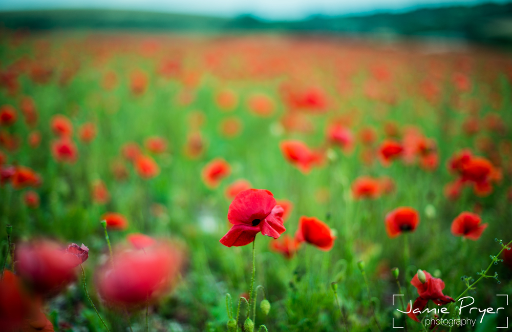 Poppies10.jpg