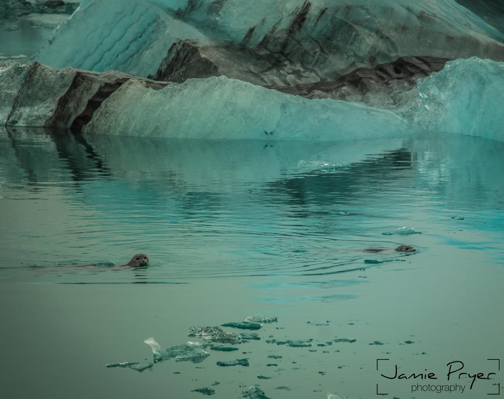 Icelandic Seals-2.jpg