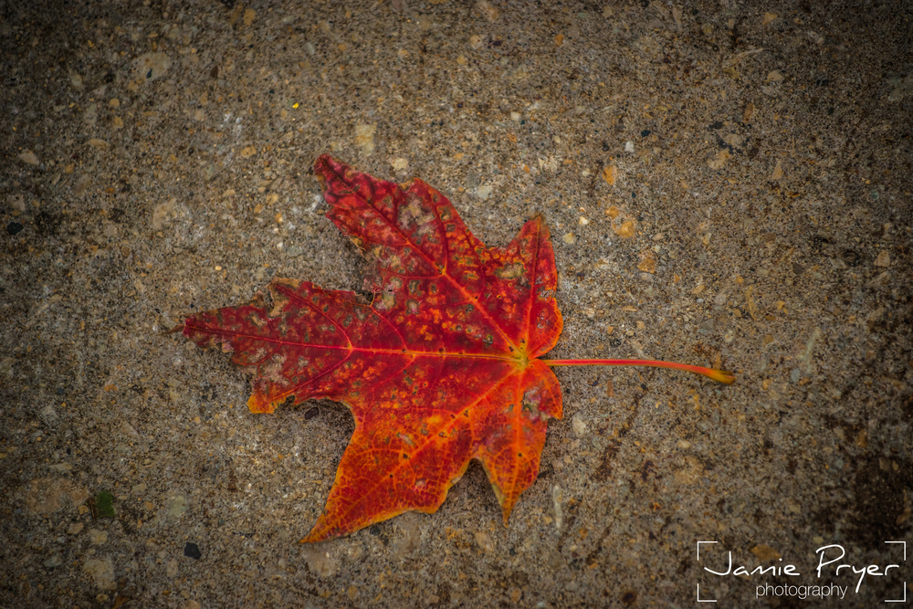 Autumn Leaf-2.jpg
