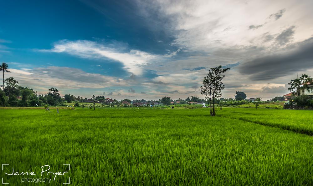 Fields of Bali.jpg