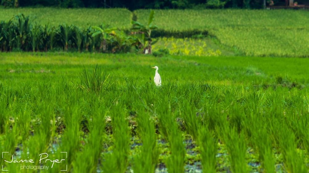 Bali Birds.jpg