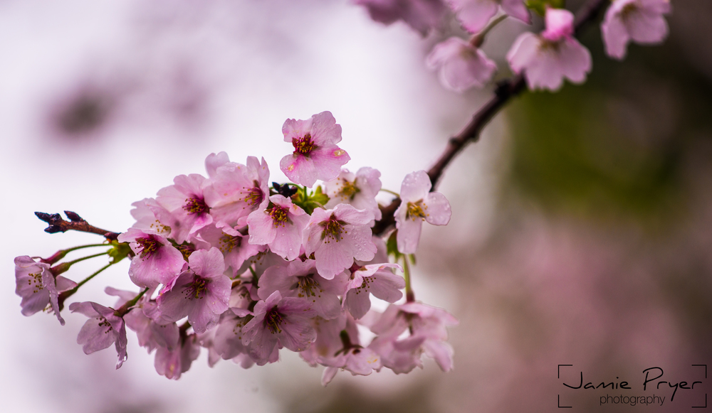 Cherry Blossum2-2.jpg