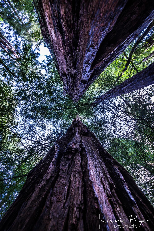 Muir Woods4-2.jpg
