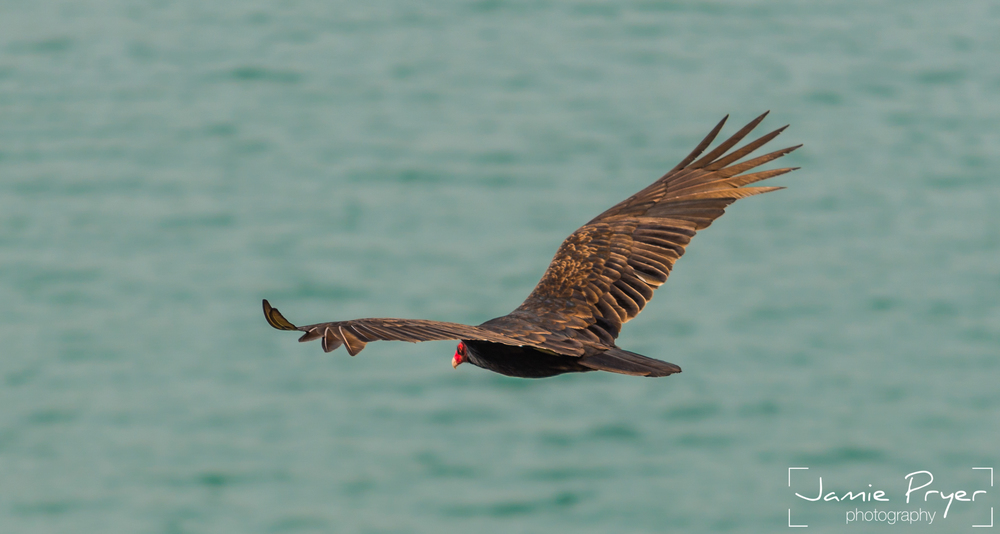 Flying Vulture2-2.jpg