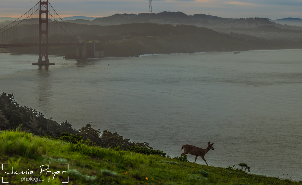 Golden Gate Deers-2.jpg