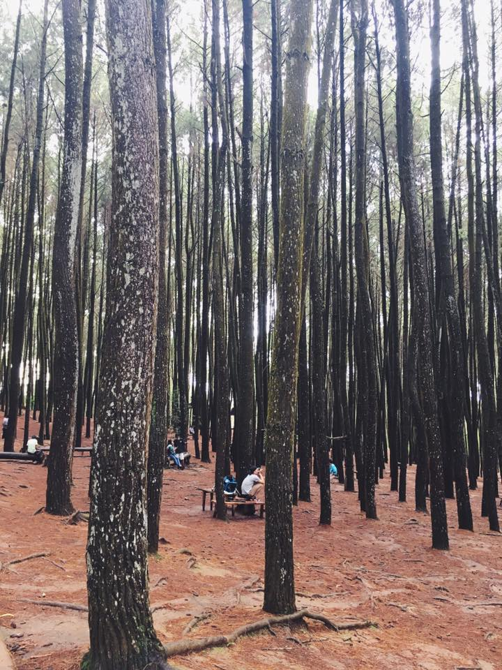 Pine Forest Hutan Pinus.