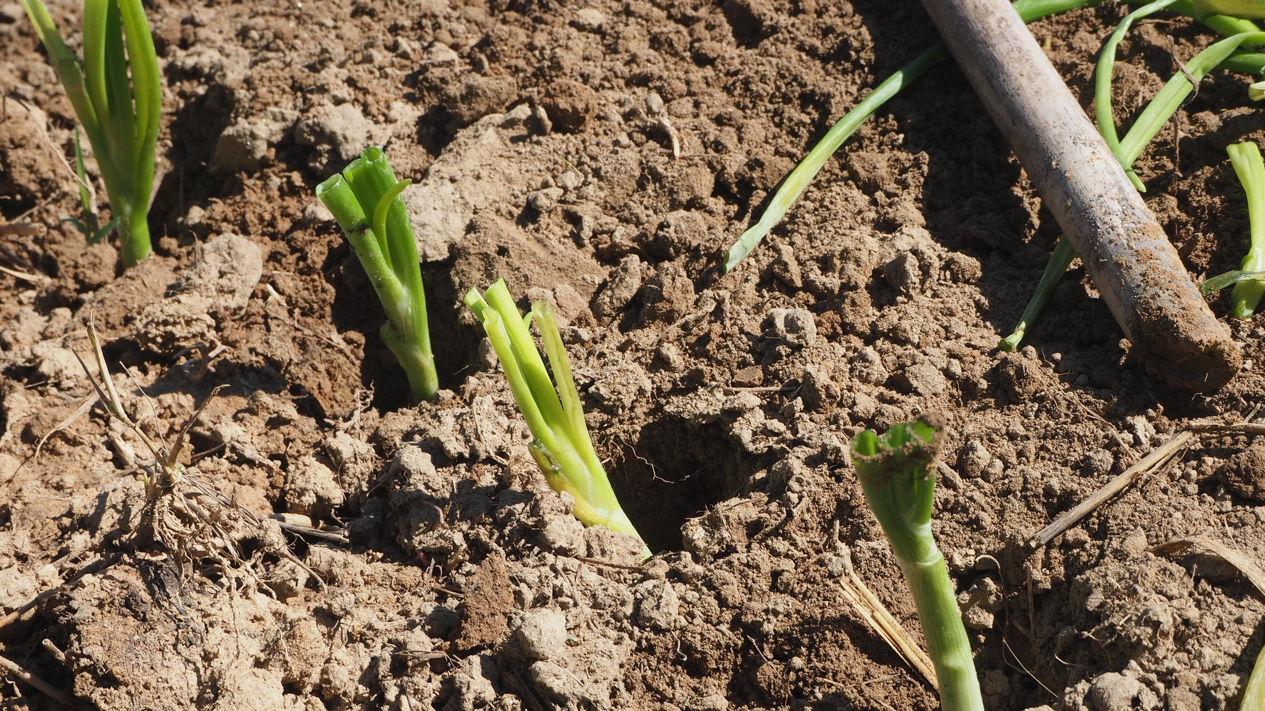 tips on growing onions in your winter vegetable garden u2014 the