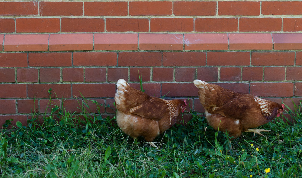 backyard_chickens.jpg