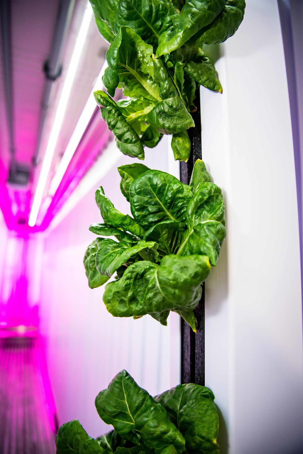 Bibb lettuce before harvest. The plants get 18 hours of sunlight-mimicking red and blue light, nutrient rich water, and ideal growing conditions. As a result, plants grow quickly and 95% of each harvest is ready to go to market.