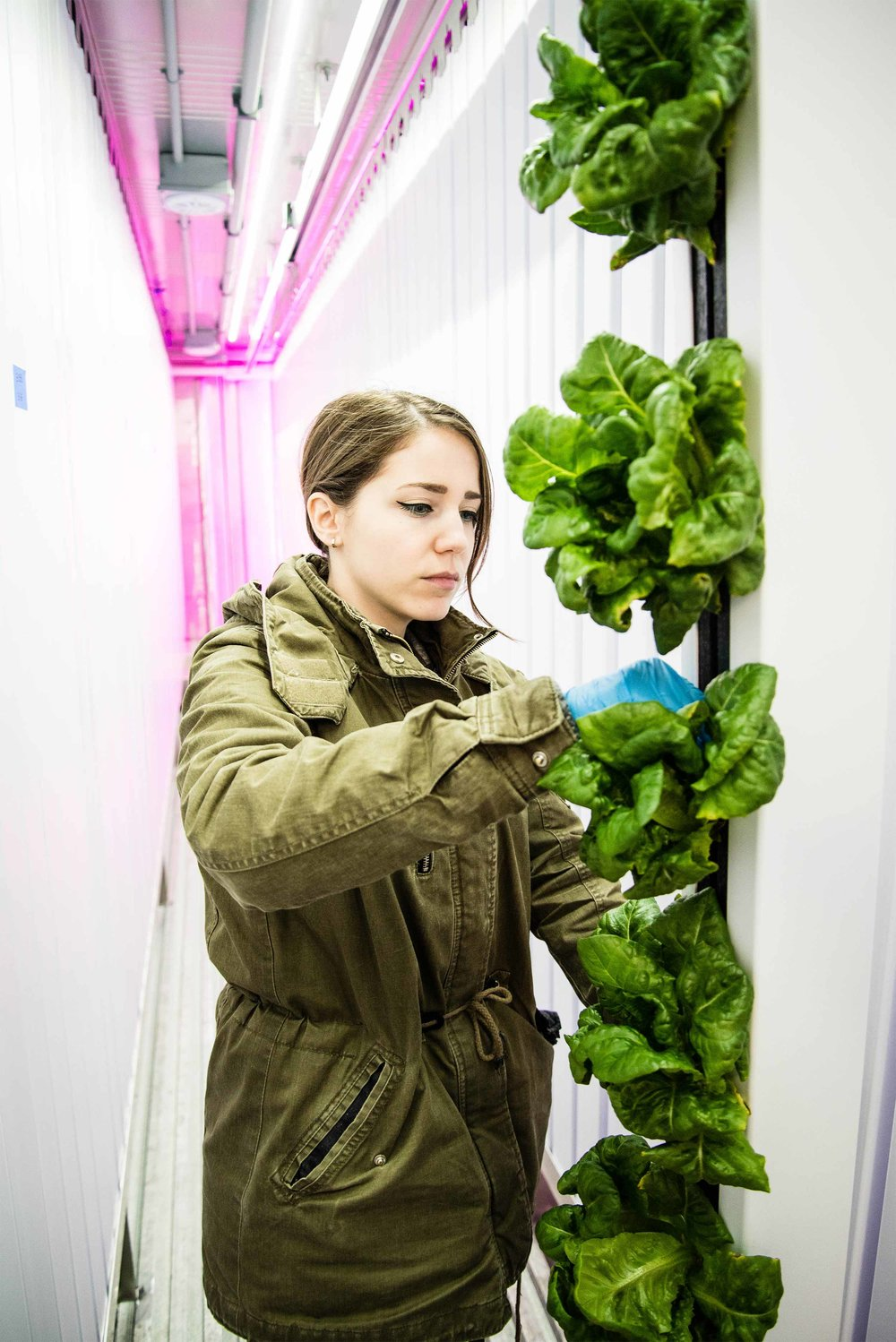 Freight Farms' hydroponic farmer, Francesca, harvests lettuce from on of the container farms' 265 crop columns.