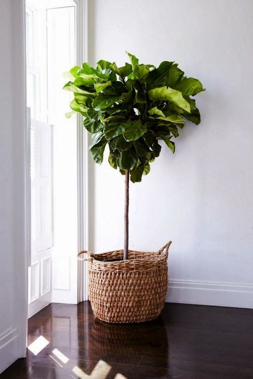 Your very own 'Love Fern' keeps the inside as fresh as out with a pop of life and colour. Leafy green looks gorgeous in a wicker basket, copper pot, or even vintage bucket. It also aids height to a large room.