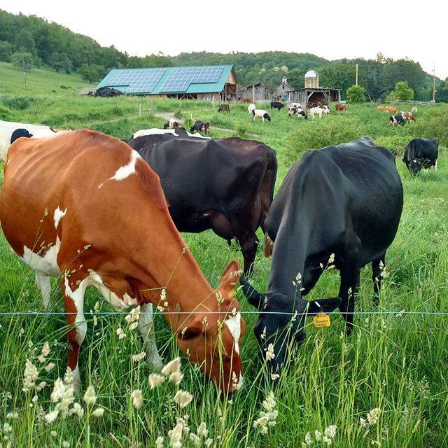 Saturday night, down on the farm. Out to pasture and doing what they like to do..... eating greens! #franklinfarm# happycows