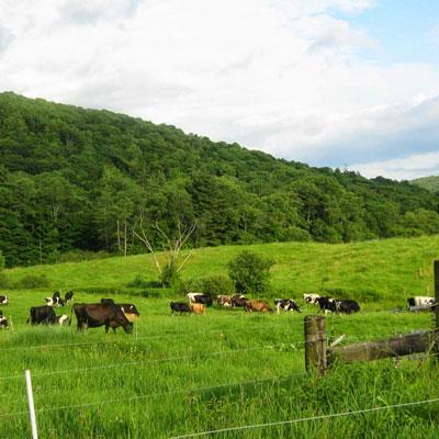 cow-field-2.jpg