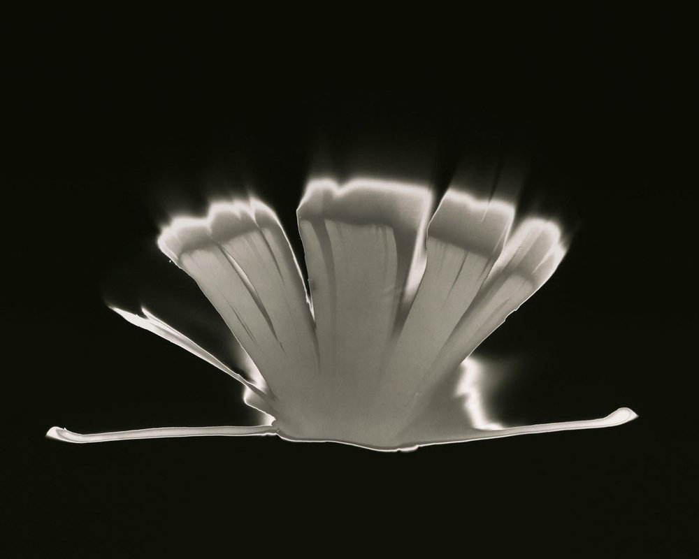 "Book of Faith , photogram, archival pigment print, 45"" x 38"", edition 2 of 3, 2017."