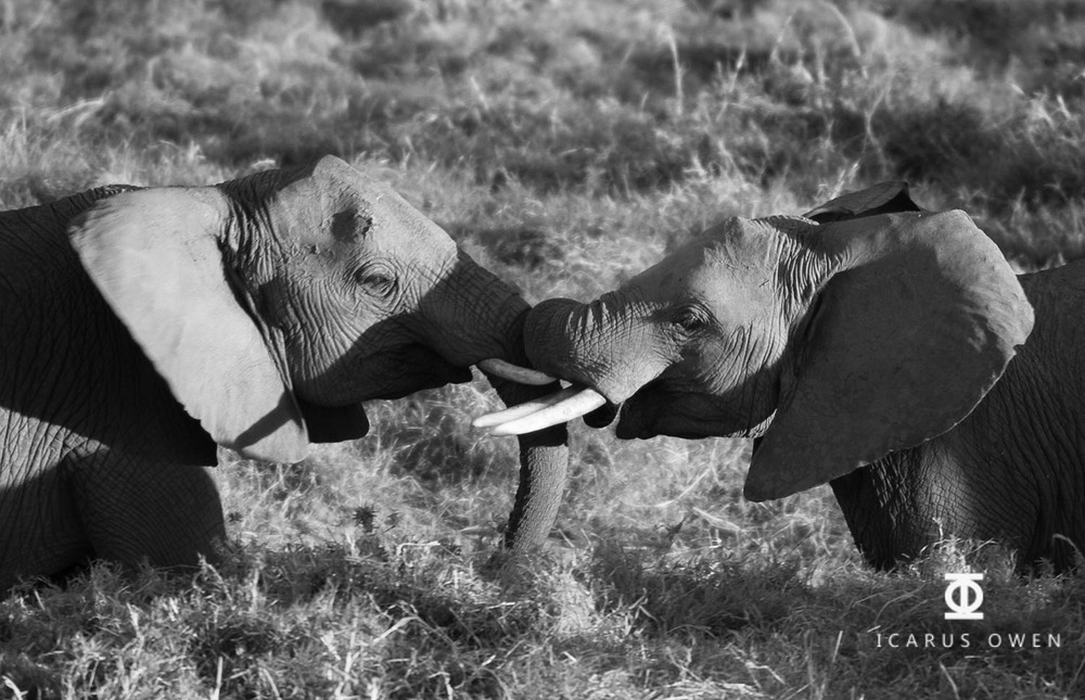 African elephants (Loxodonta africanus) greeting