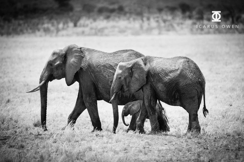 African elephants (Loxodonta africanus) with baby