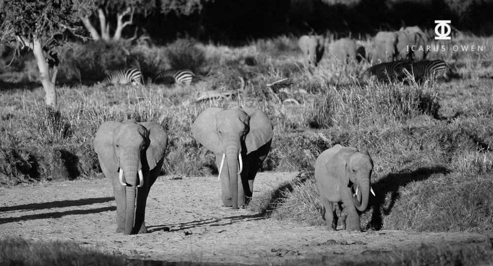 African elephants (Loxodonta africanus) walking in dry river bed
