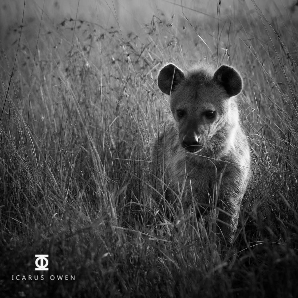 Spotted hyena (Crocuta crocuta) young in grass