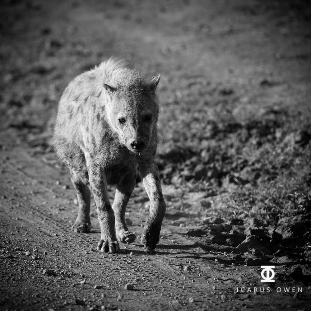 Pregnant spotted hyena (Crocuta crocuta), Mara, Kenya