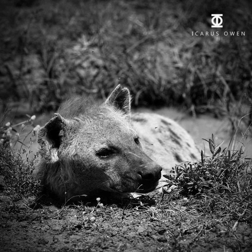 Pregnant spotted hyena (Crocuta crocuta) in water
