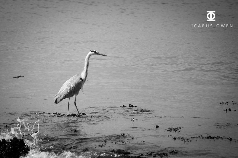 Grey-Heron-Aberdeen-Harbour-Icarus-Owen.jpg