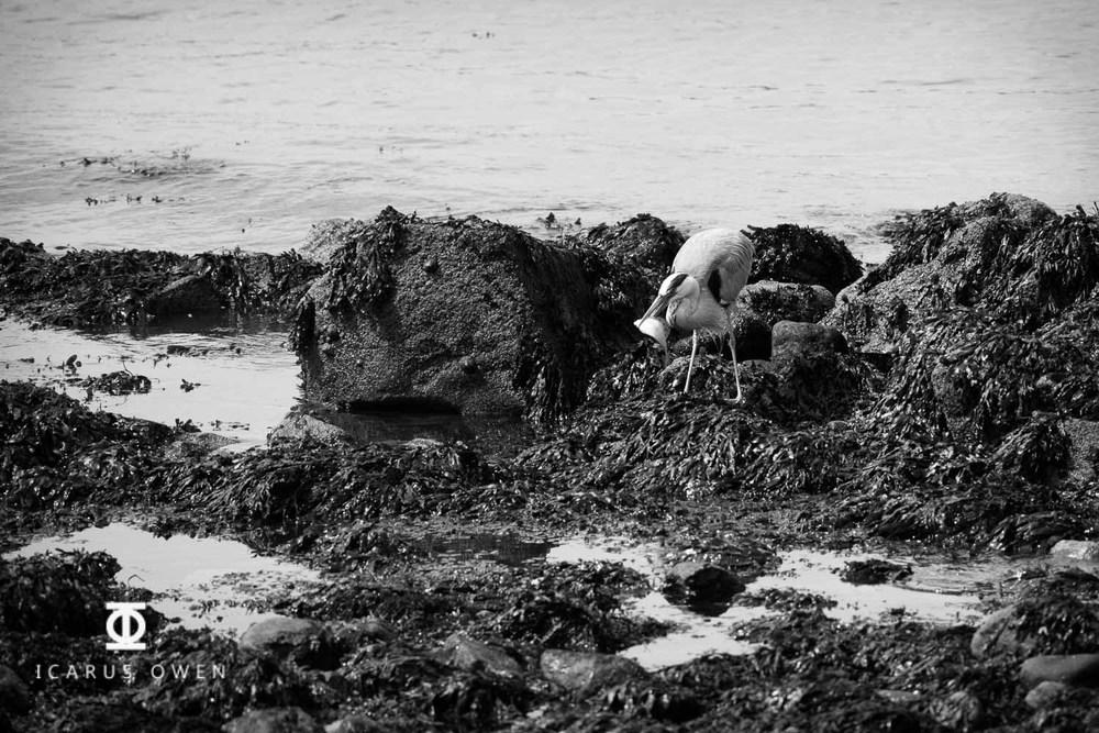 Grey-Heron-Aberdeen-Harbour-Icarus-Owen-10.jpg