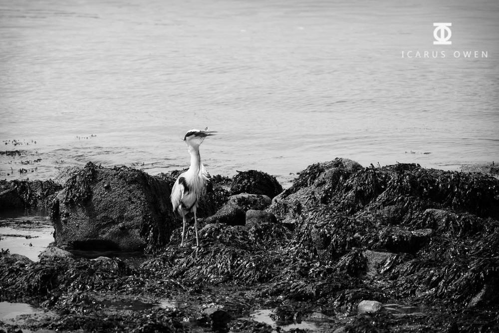 Grey-Heron-Aberdeen-Harbour-Icarus-Owen-12.jpg