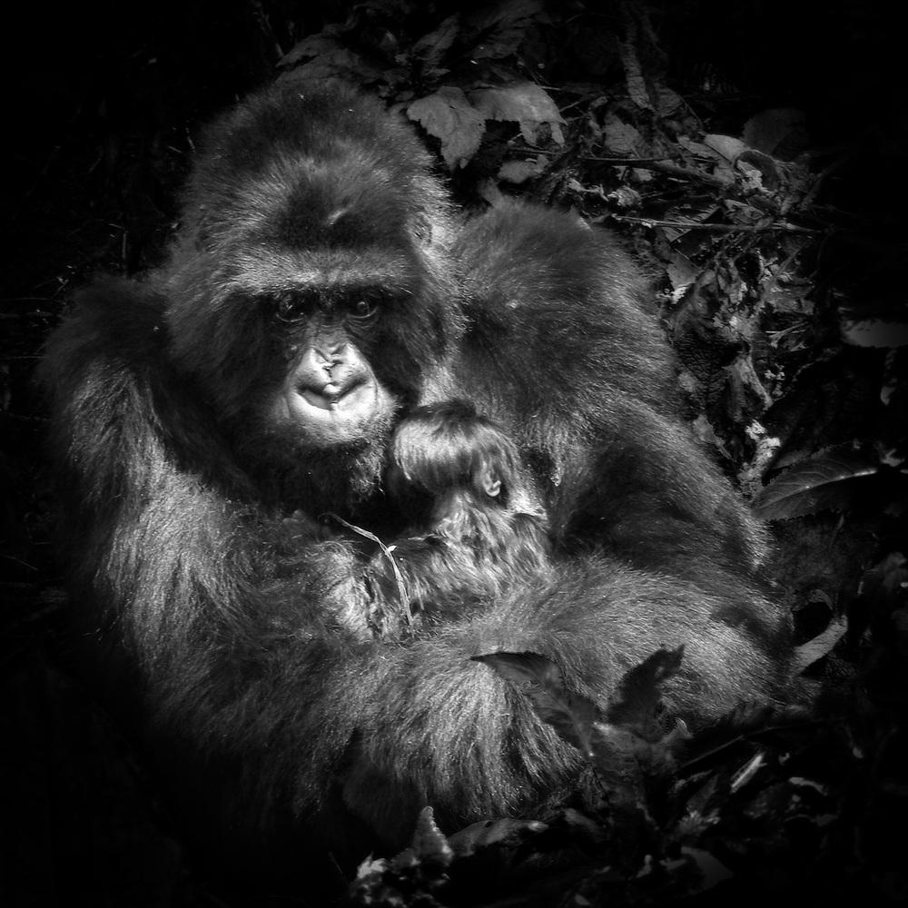 Gorrila with infant (Rwanda).