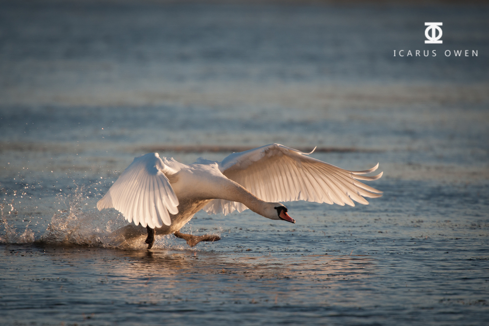 Mute Swan taking off from Loirston loch, Aberdeen.