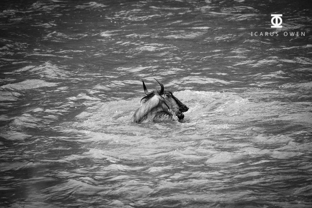 Wildebeest Final Gasp