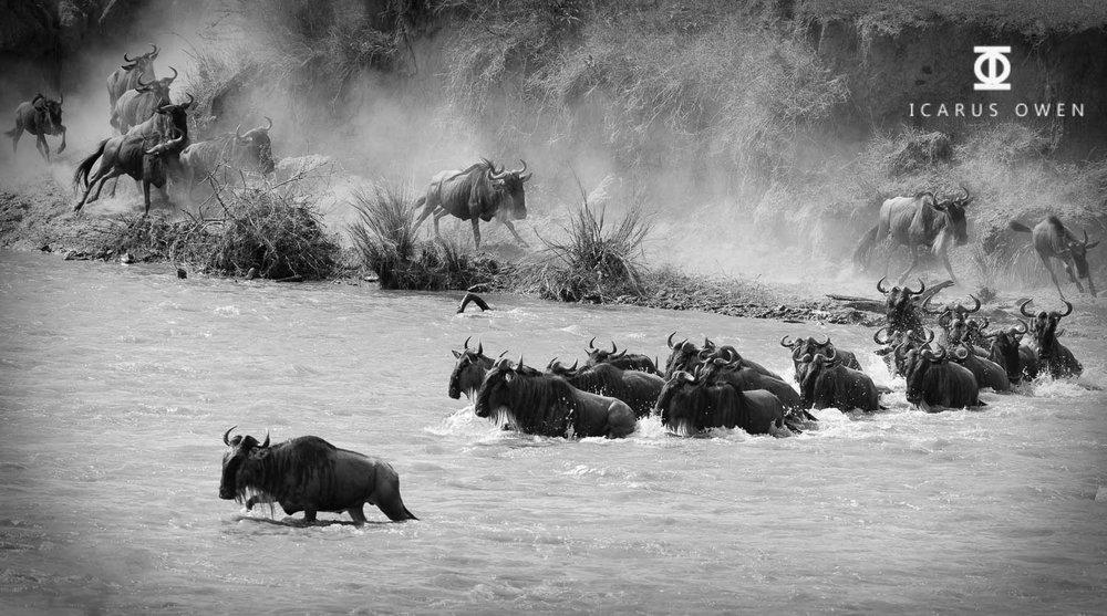 Wildebeest Crossing Africa