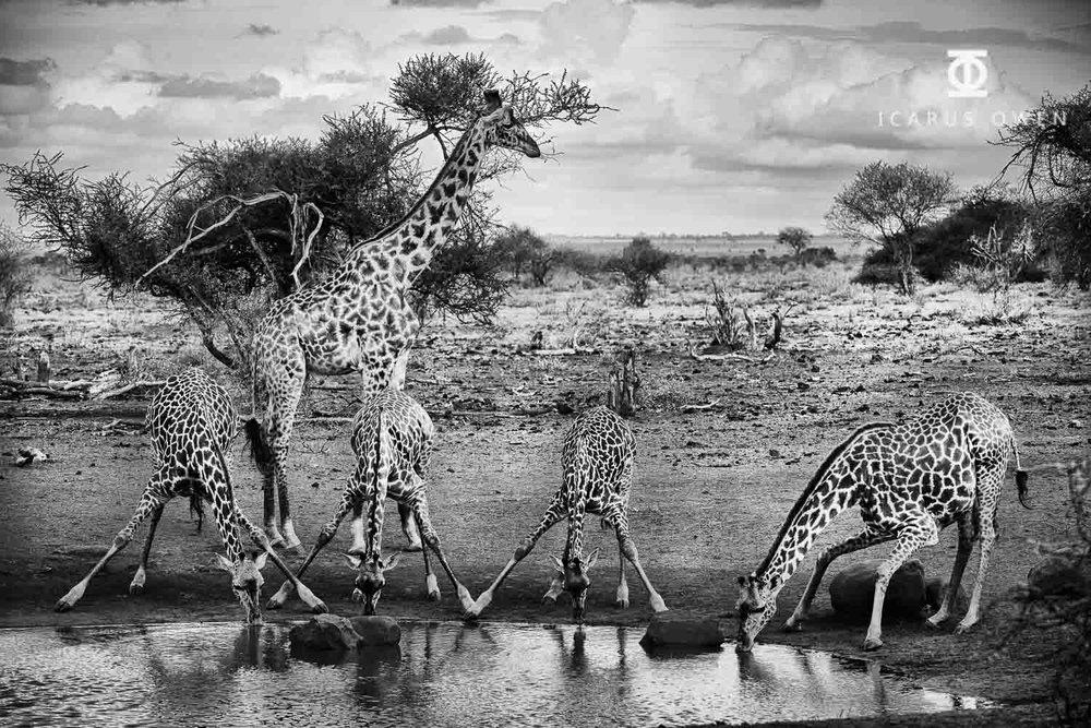 Giraffes-Waterhole-Icarus-Owen