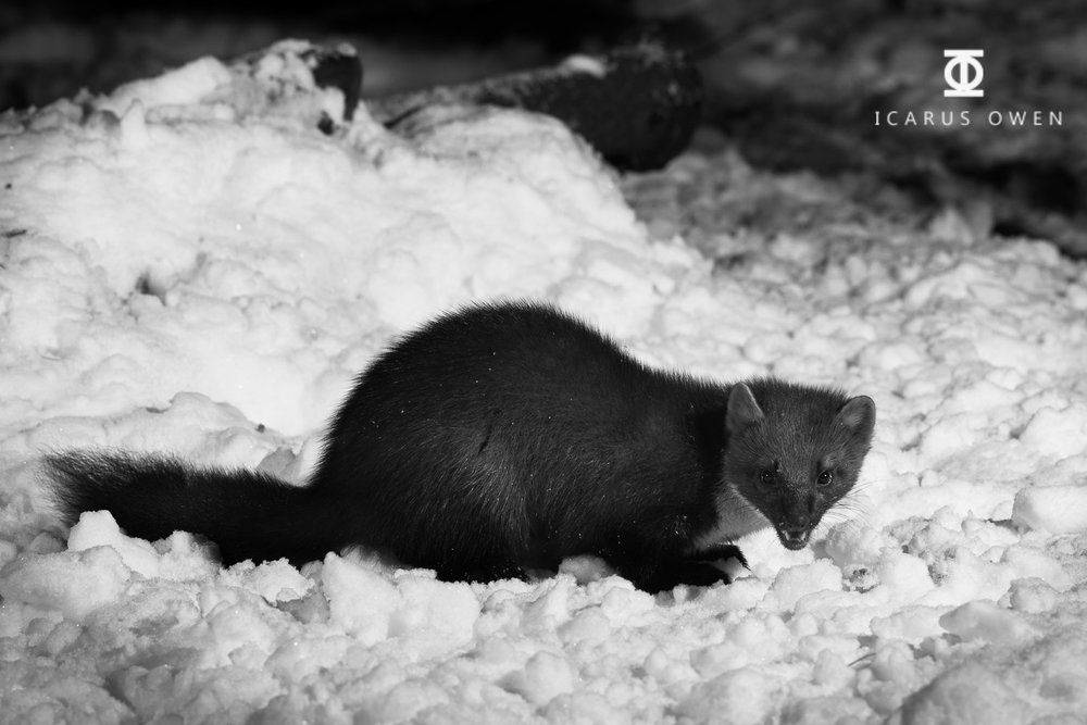 Pine marten on the ground in snow