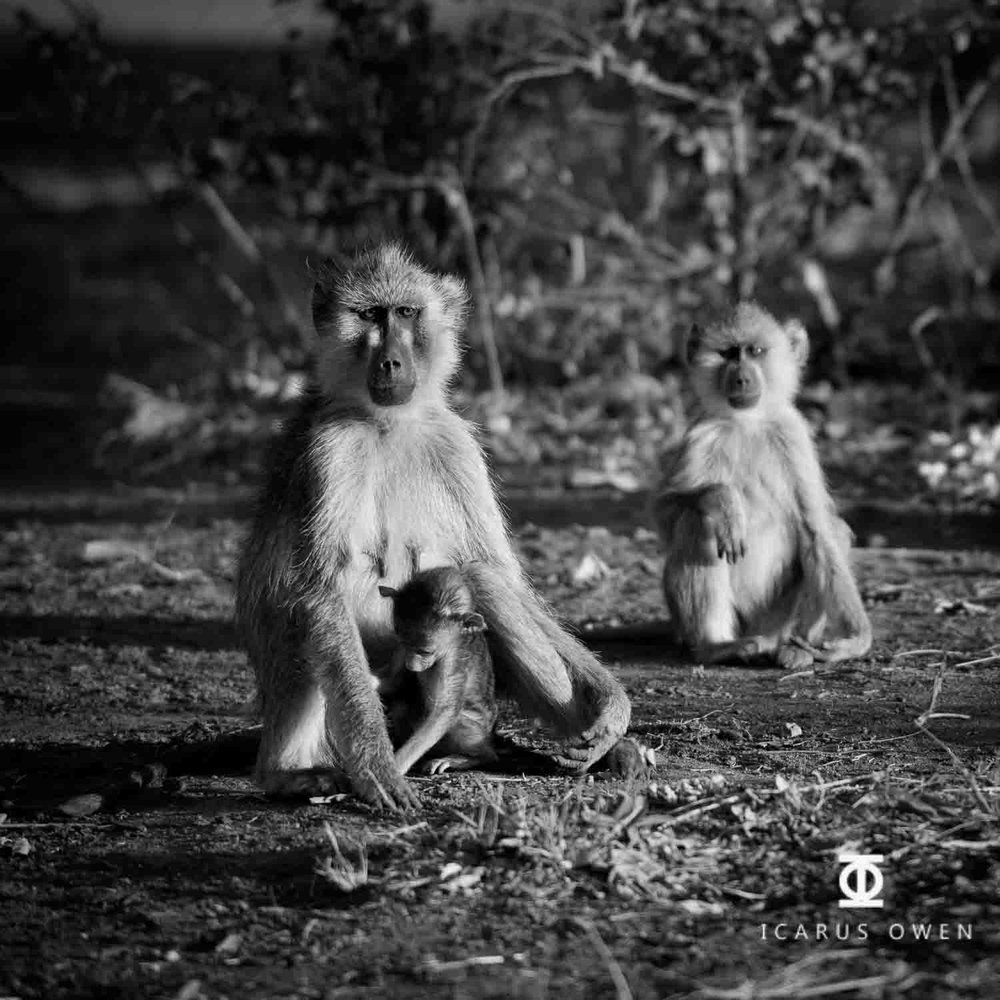 Baboon Trio