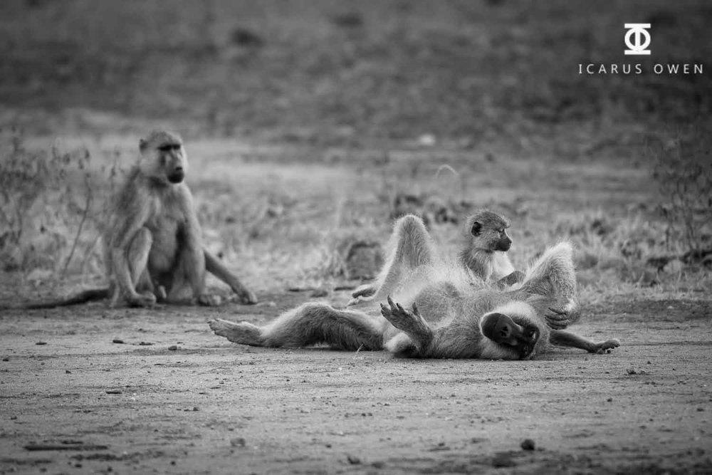 Male baboon lying on ground