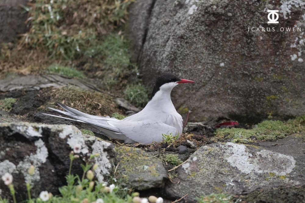 Arctic tern sitting on nest in the rain protecting chick, Isle of May, Scotland.