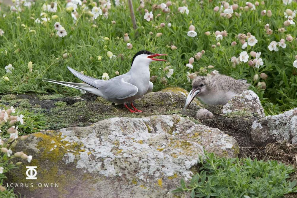 Arctic tern chick being fed large fish by parent, Isle of May, Scotland.