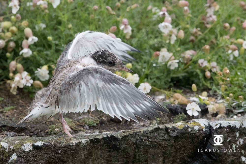 Arctic tern chick strengthening wings in the rain.