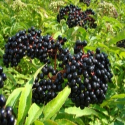 Elderberries (250x188).jpg