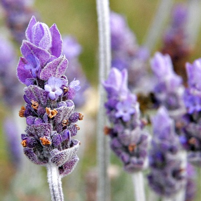 Single_lavendar_flower02.jpg