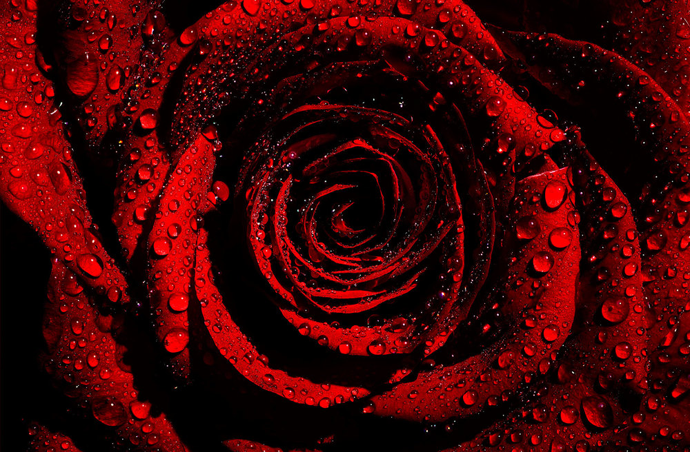 Rose_DFH_FP20x30.jpg