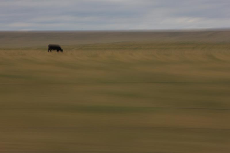 Cattle_staver_012.jpg