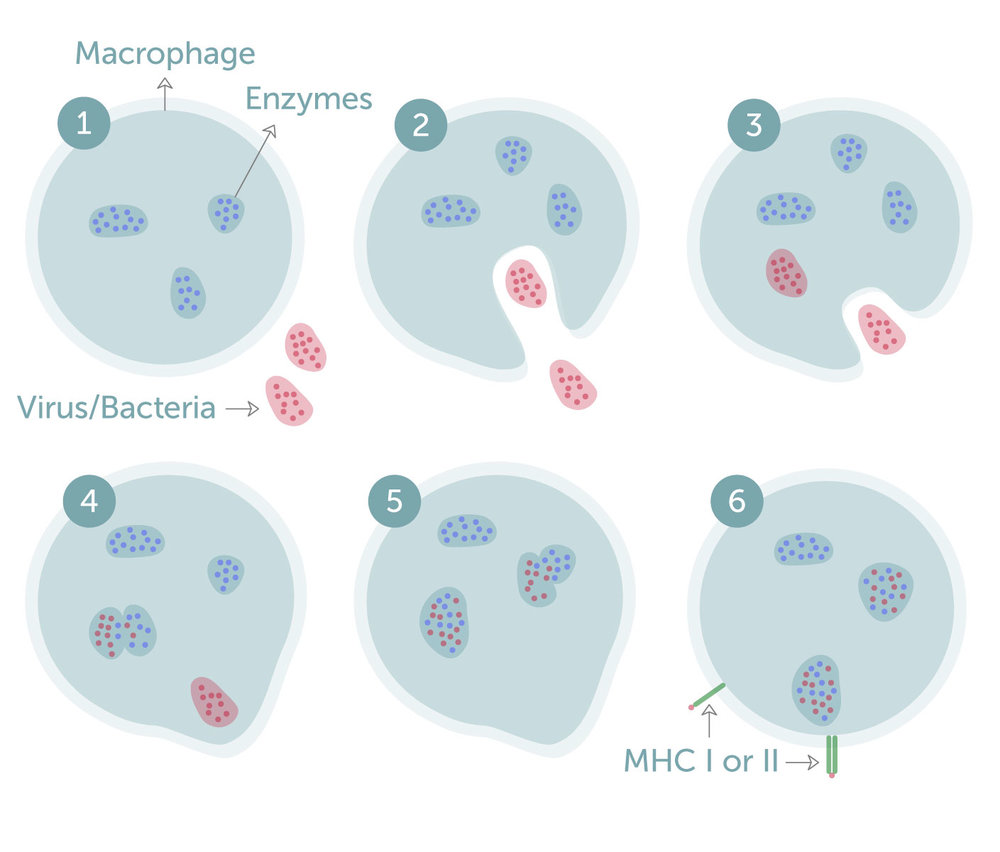 Figure 1. Phagocytosis in macrophages. The macrophage first engulfs the virus/bacteria (1-3), the virus/bacteria will then be broken down by the enzymes in the macrophage (4,5) and it is presented in the context of MHC I or II (6)