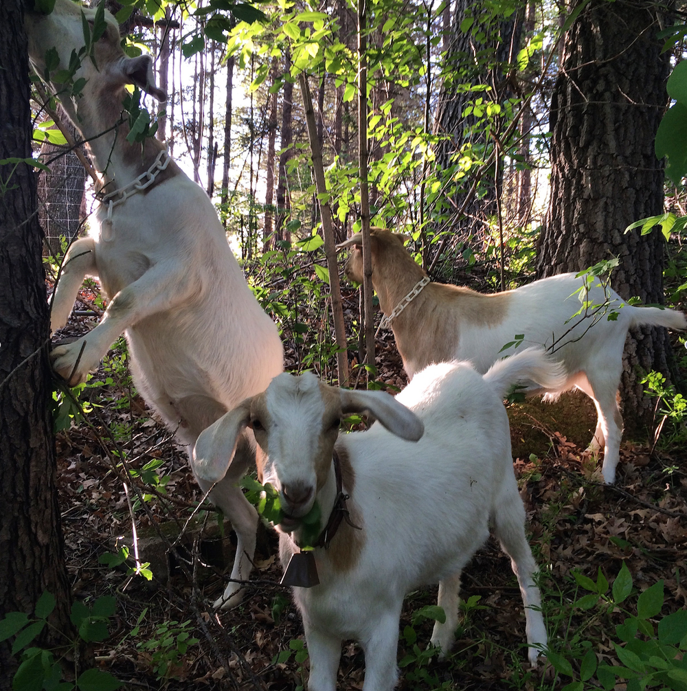 L to R: Moe, Curly, and Larry enjoy their first bites of Lily Springs forage in their new paddock.